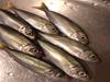山口県の周防大島ではイカ、豆アジとサヨリが釣れ始めましたね