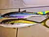 広島沖や岩国沖でサワラやブリやヤズなどが釣れ始めましたね
